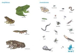 Going deeper... amphibians and invertebrates - WWT ...